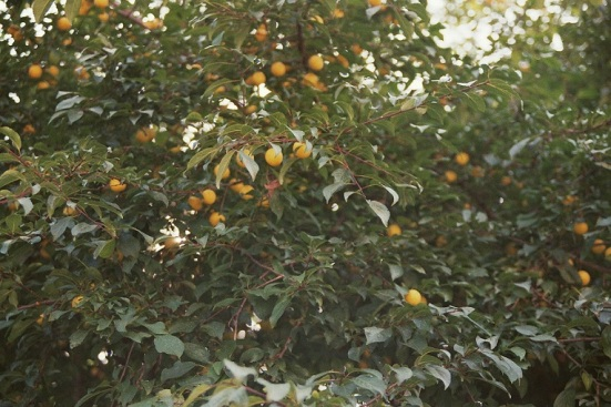 Yellow Plums film photography nature colours film 35mm analogue analog